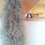 プランチュールの可愛い植物スパニッシュモス